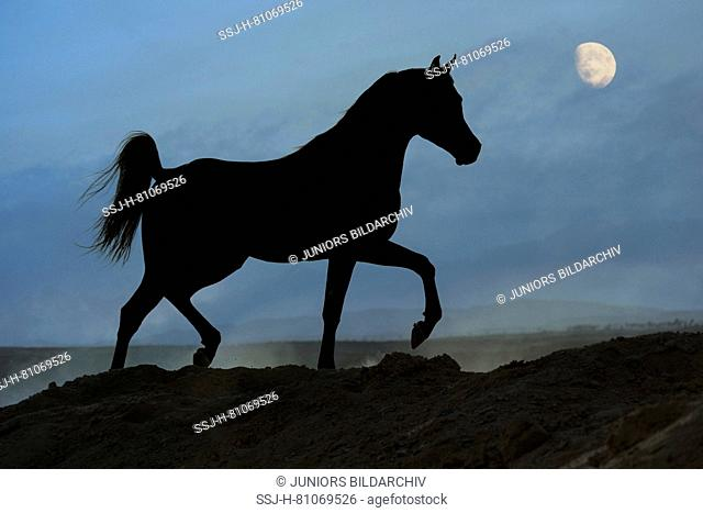 Arabian Horse. Black stallion trotting in the desert, silhouetted against the moon. Egypt
