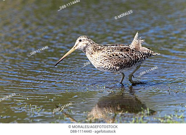 South American Snipe (Gallinago paraguaiae magellanicae). Sealion Island, Falkland Islands