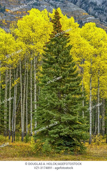 Conifer Surrounded by Aspen Beauty Bow Valley Parkway Banff National Park Alberta Canada