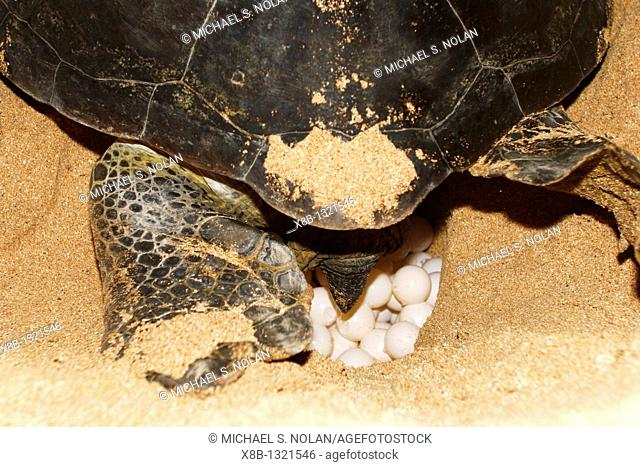 Adult female green sea turtle Chelonia mydas hauled out and laying eggs on Ascension Island, south Atlantic Ocean  There are roughly 3
