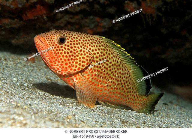 Red Hind (Ephinephelus guttatus), resting on sandy bottom, Saint Lucia, St. Lucia Island, Windward Islands, Lesser Antilles, Caribbean, Caribbean Sea