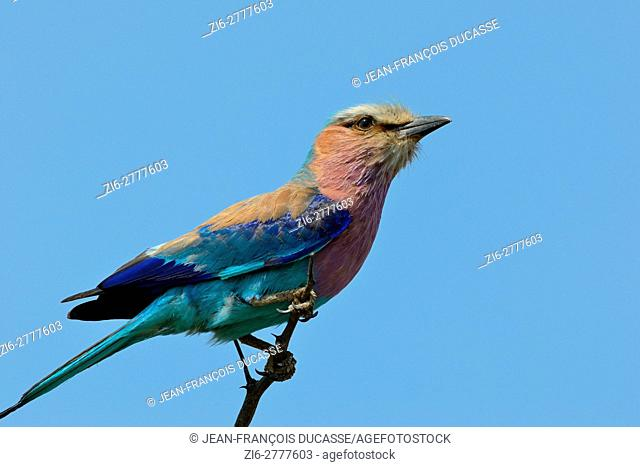Lilac-breasted roller (Coracias caudatus), perched on the top of a tree, Kruger National Park, South Africa, Africa