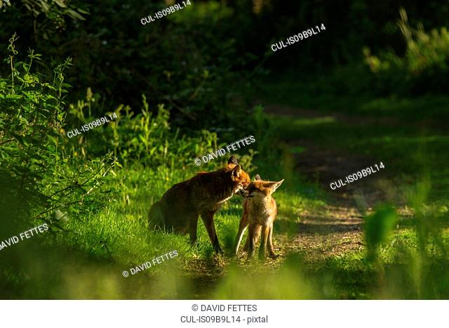 Two Red Foxes (Vulpes vulpes), in rural setting