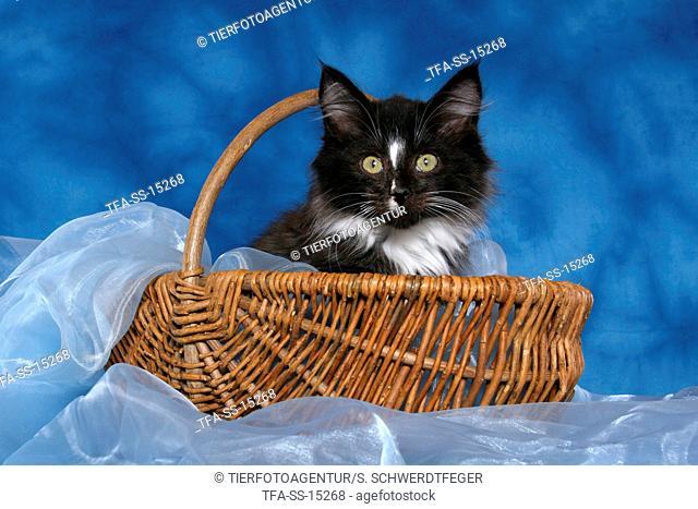 Norwegian Forest Kitten in basket