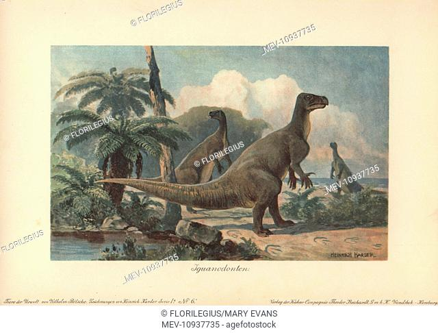 Iguanodons were herbivorous dinosaurs from the mid-Jurassic to late Cretaceous. . Colour printed illustration by Heinrich Harder from Tiere der Urwelt Animals...