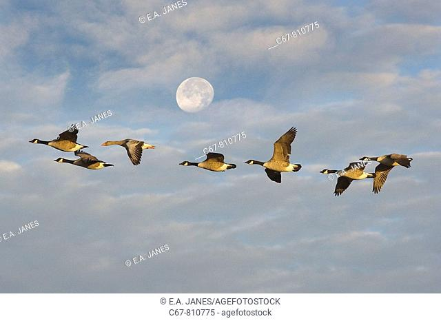 Canada Geese Branta canadensis and Grey-lag Goose flying to Winter Roost