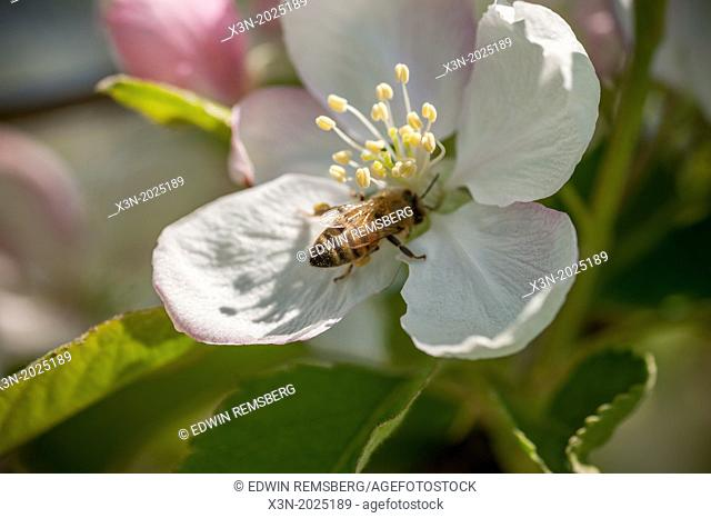 Apple Blossom with Honey Bee. Thurmont Maryland USA