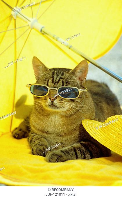 tabby domestic cat with sunglasses - lying under sun shade