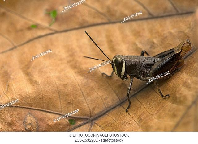 Grasshopper, Aarey milk colony Mumbai , India