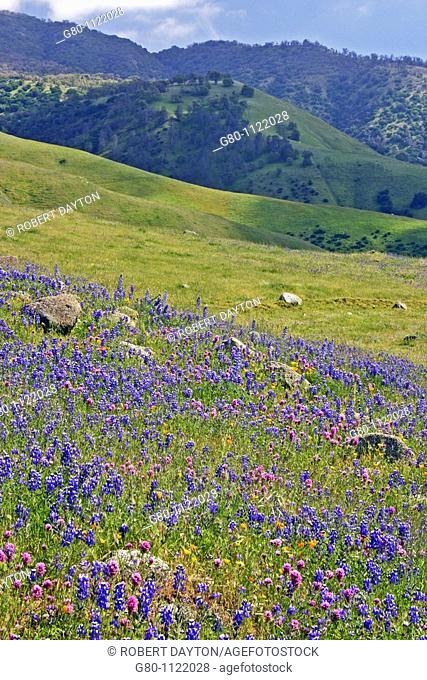 Lupine and Owl's Clover, California