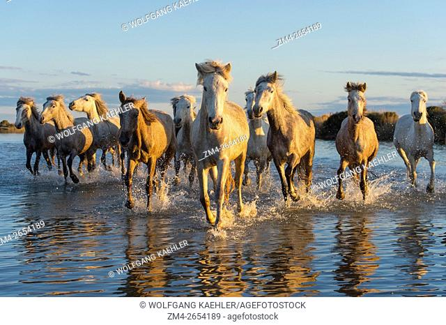 Camargue horses in a marsh of the Camargue in southern France running towards the camera in evening light