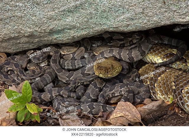 Timber rattlesnake (Crotalus horridus), bearing young, babies, Pennsylvania, USA