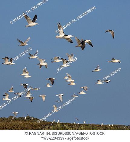 Seagulls flying over Grundarfjordur, Snaefellsnes Peninsula, Iceland