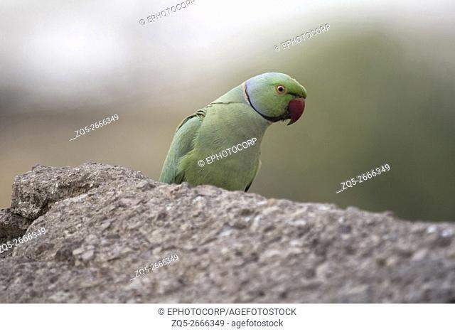 Rose Ringed Parakeet, Psittacula krameri. Kanha Tiger Reserve, Madhya Pradesh, India