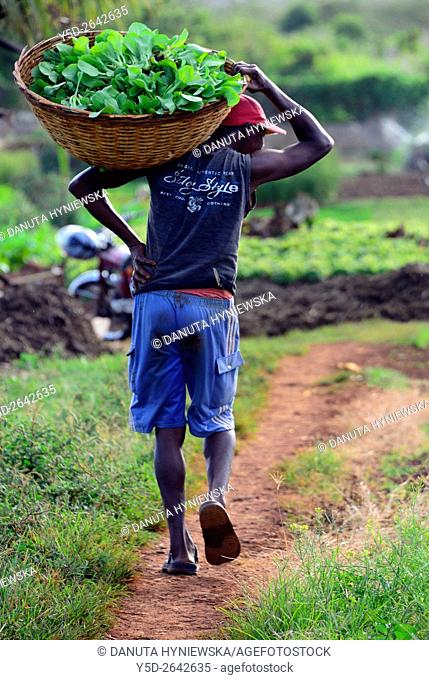 man working in vegetable farm, Pamplemousses district, Mauritius, Africa