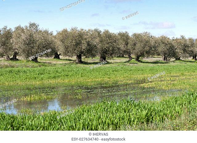 Olive grove in winter. Photo taken in Ciudad Real Province, Spain