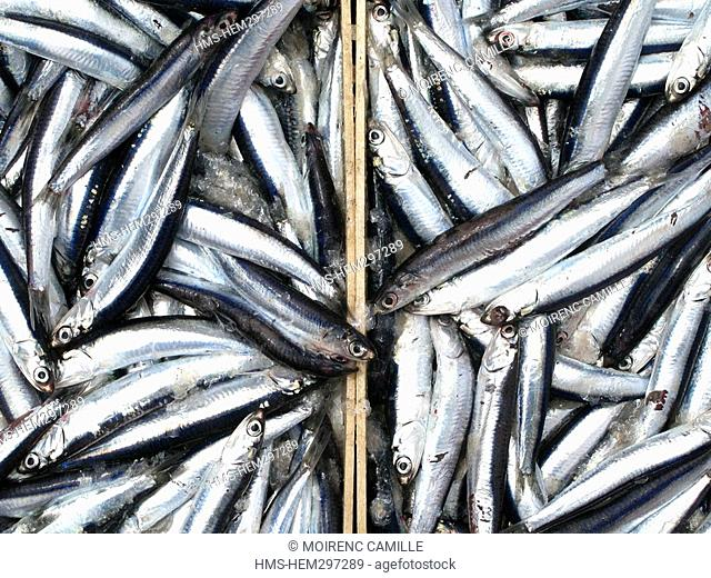 France, Pyrennees Orientales, fishing on a trawler off the coast of Port Vendres, anchovies