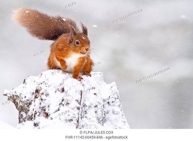 Eurasian Red Squirrel Sciurus vulgaris adult, sitting on snow covered stump during blizzard, Cairngorms N P , Highlands, Scotland, december