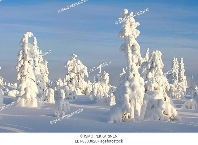 Snow-covered trees at the Iso-Syöte mountain in Northern Finland