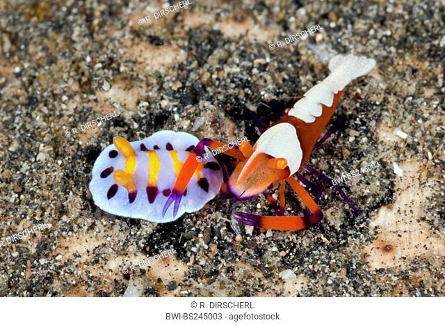 emperor shrimp (Periclimenes imperator), with small nudibranch, Lembeh Strait, North Sulawesi, Indonesia, Sulawesi