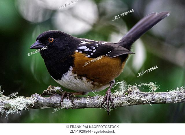 The Spotted Towhee  Pipilo Maculatus is a large New World sparrow  The taxonomy of the towhees has been debated in recent decades