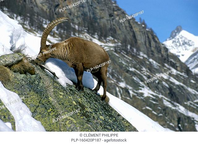 Male Alpine ibex (Capra ibex) eating grass on mountain slope in the snow in winter in the Alps