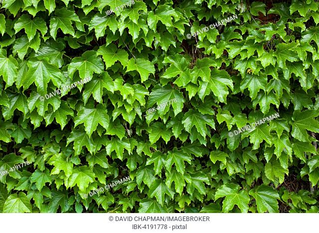 Vines on brick wall, Granby, Eastern Townships, Quebec, Canada