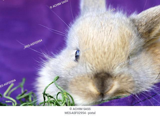 Rabbit on purple cloth