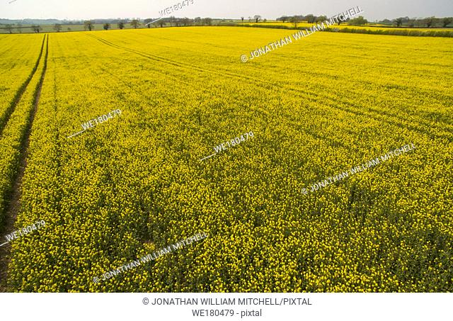 BEDFORDSHIRE, UK - 18 April 2019 - Aerial view of oilseed rape ( Brassica napus ) growing in a field in Bedfordshire England UK - Picture by Atlas Photo...