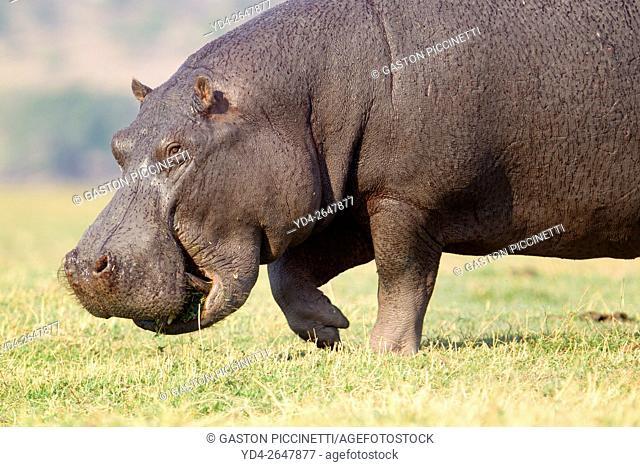 Hippopotamus (Hippopotamus amphibius), Chobe National Park, Botswana