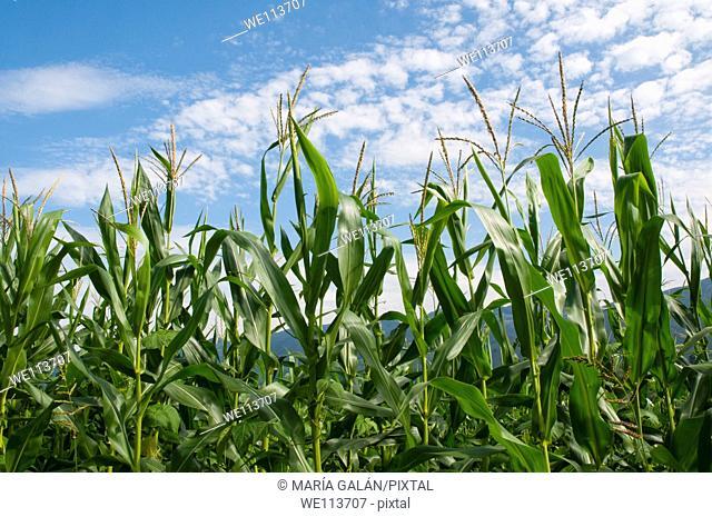 Maize plant. Asturias, Spain