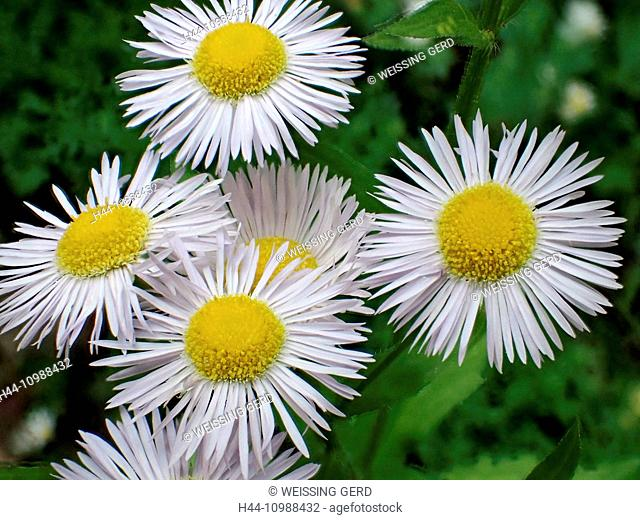 summer asters