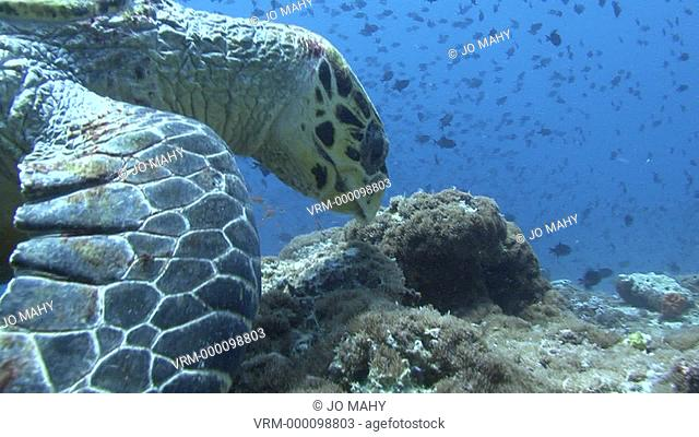 Green turtle . Maldives, Indian Ocean