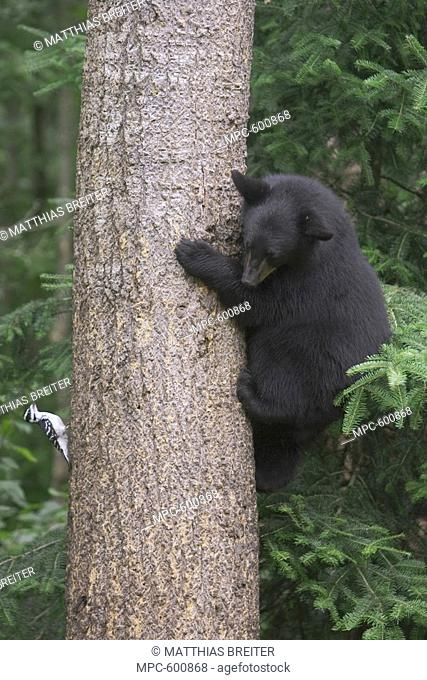 Black Bear Ursus americanus, 10 month old cub climbing tree trunk inspects a Hairy Woodpecker Picoides villosus, Orr, Minnesota