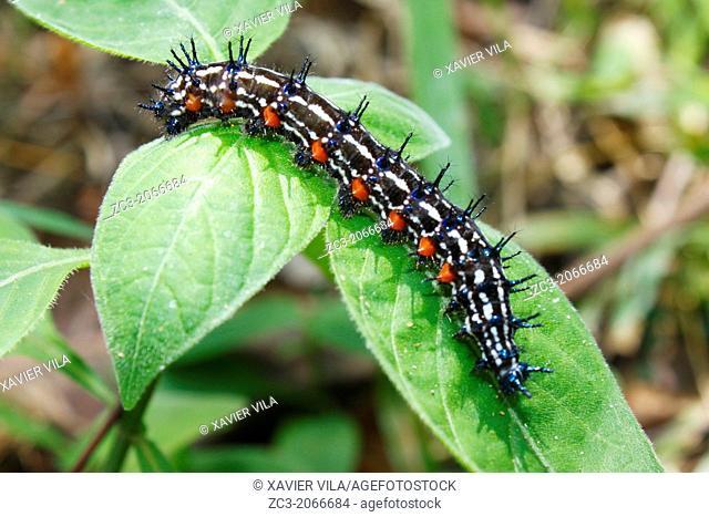 Chenille, Caterpillar, Malacca, Bandar Melaka, Malaysia