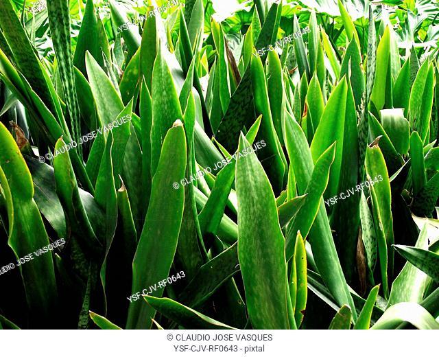 Plants, snake Plant, sword-saint-barbara, sword-saint-george, Botanical Garden, City, Rio de Janeiro, Brazil