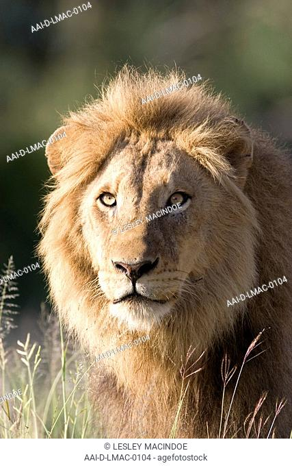 Portrait of a Male Lion, Kruger National Park