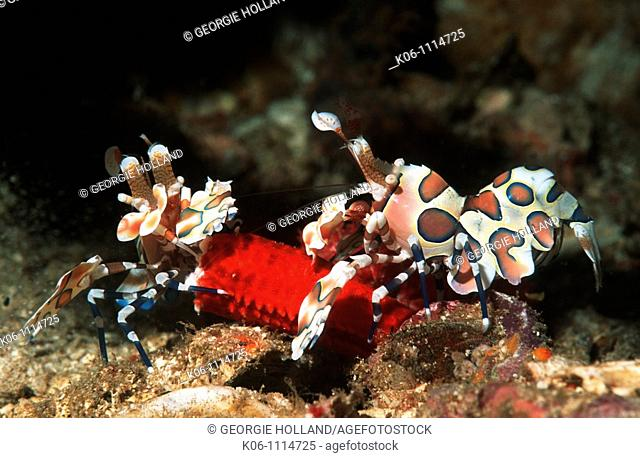Harlequin shrimp Hymenocera picta, pair feeding on starfish leg  Andaman Sea, Thailand