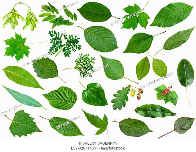 set of varuious green leaves isolated on white - mulberry, redcurrant, currant, ribes, peach, thuja, pear, basil, cherry, crataegus, hawthorn, redhaw, raspberry