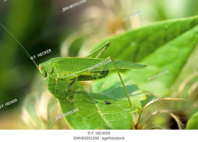 Syrian Long-legged Bush-cricket (Acrometopa syriaca, Acrometopa elsae, Acrometopa festae), female