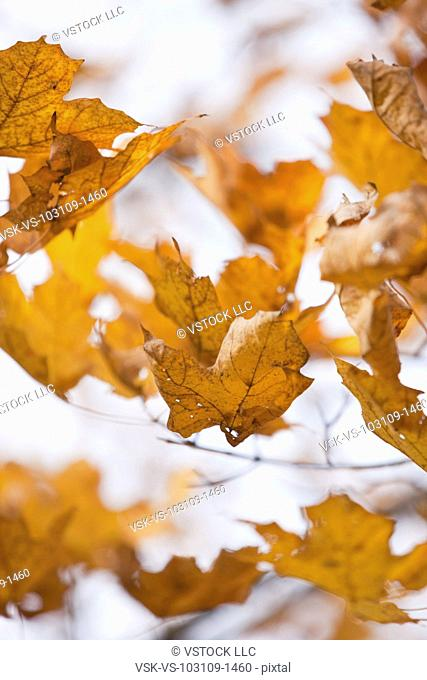 USA, Illinois, Metamora, yellow maple leaves falling
