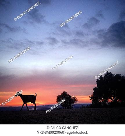 A goat walks in the countryside at sunset in Prado del Rey, Sierra de Cadiz, Andalusia, Spain