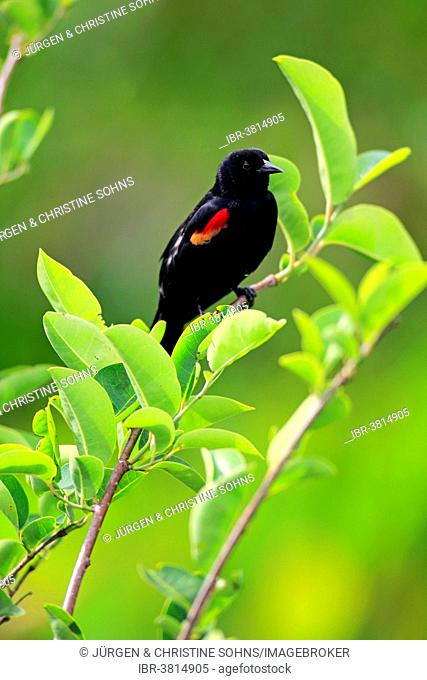 Red-winged Blackbird (Agelaius phoeniceus), adult, male, on perch, Wakodahatchee Wetlands, Delray Beach, Florida, United States