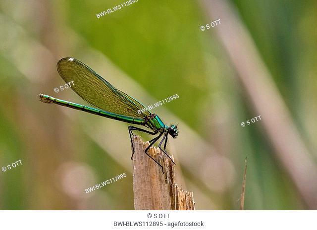 banded blackwings, banded agrion, banded demoiselle Calopteryx splendens, Agrion splendens, sitting on a dead stem