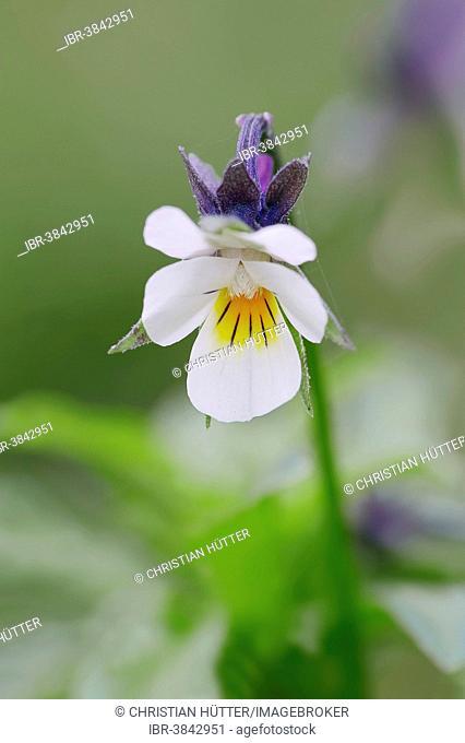 Field Pansy (Viola arvensis), flower, North Rhine-Westphalia, Germany