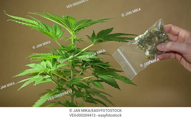 Cannabis plant and hand holding bag with dried Marijuana