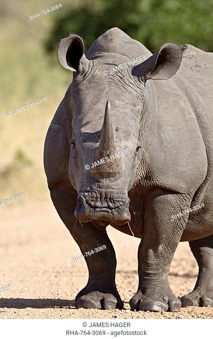 White rhinoceros Ceratotherium simum, Kruger National Park, South Africa, Africa