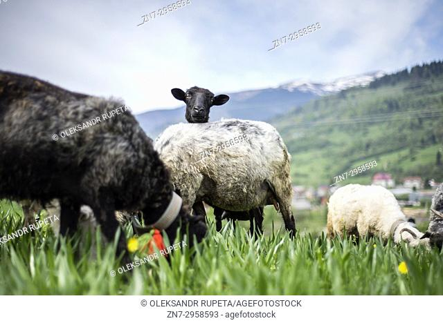 Late spring, when shepherds go to Carpathian mountain valleys all villagers come to celebrate it together. Exit to the mountain is accompanied by sounds of...