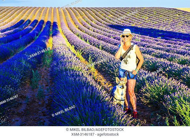 Lavender fields and a woman with a wolfdog. Brihuega, Guadalajara. Castile-La Mancha. Spain, Europe