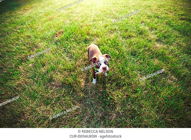 High angle view of Boston Terrier puppy on grass looking at camera